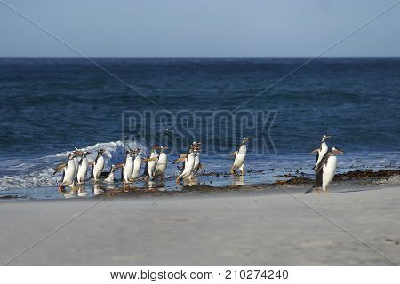 Gentoo Penguins (Pygoscelis papua) coming ashore after feeding at sea on Sea Lion Island in the Falkland Islands.