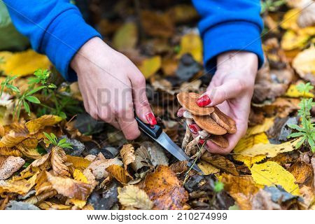 Mushroom Picker Collects Armillaria Mellea In The Middle Of The Autumn Forest, Carefully Cut With A