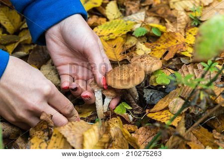 Mushroom picker collects Armillaria mellea in the middle of the autumn forest carefully cut with a knife closeup