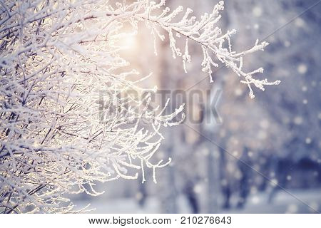 Branches in hoarfrost and snow in the winter are lit with the sun.
