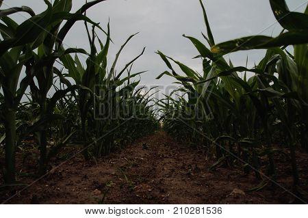 A few weeks old corn on a vast field