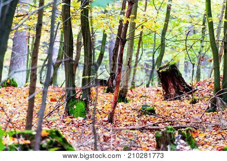 Beautiful Forest In Autumn, Many Vibrant Colors Around, Leaves On The Ground, Big Trees