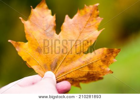 A Maple Leaf Holding In Hand. Autumn Vibrant Colors, Close-up