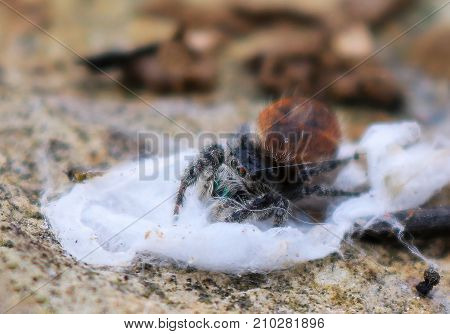 Close Up Tiny Spider with Bright Eyes and Hairy Legs