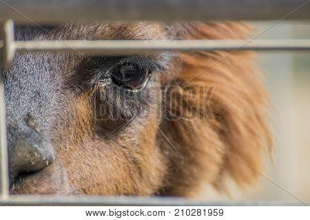 Close Up of Alpaca Eye with Long Eyelashes Gazing Through Fence