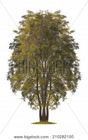 tree isolated on white background. clipping path