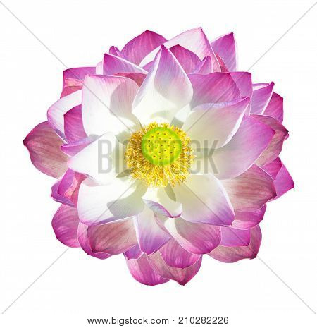 Lotus flower isolated on white background. View from the top