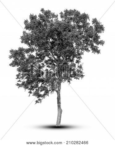 silhouette tree isolated on white background. For design