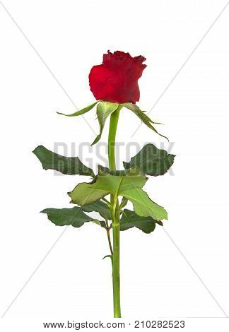 rose isolated on white background. For design