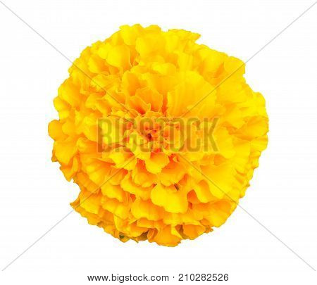 Marigold isolated on white background. View from the top