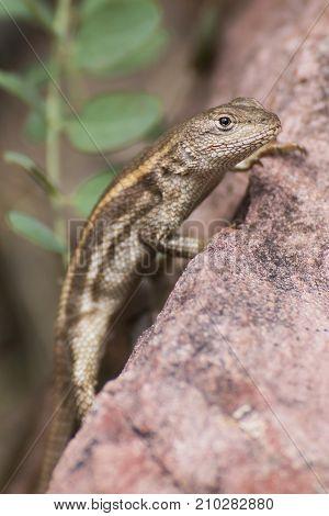 Lizard Close Up in Profile Gazing at Camera