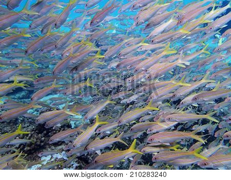 Large School of Yellowfin Goatfish Close Up with Bright Yellow Fins and Big Eyes
