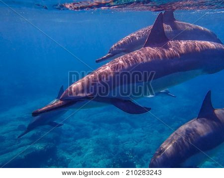 Close Up of Spinner Dolphins as they Swim Past Camera