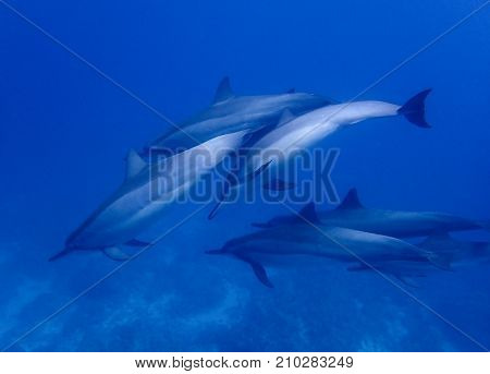 Group of Spinner Dolphins Play and Swim Underwater in Blue Sea