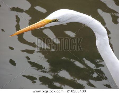 Closeup of head of Heron hunting on the Oregon coast
