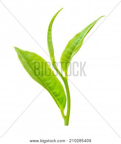Tea Leaf Isolated On The White Background