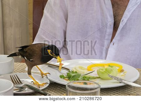 Common myna is eating an amlet from a tourist's plate in a cafe