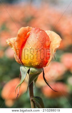 Rose With Water Drops On It