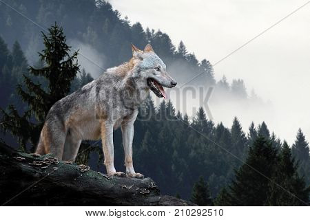 Timber wolf hunting in mountain with morning fog