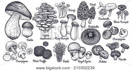 Mushrooms. Bolete Morel Truffle Agaric Shimeji Champignon Chanterelle Black and King Trumpet Oyster mushrooms Porcini Niscalo Portobello white button isolated. Vintage. Vector illustration