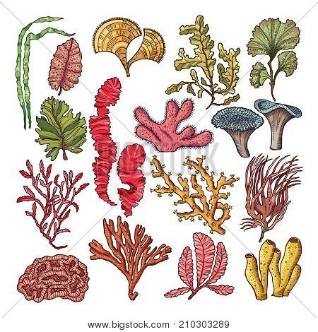 Seaweed and corals. Underwater natural plants isolated. Coral and underwater marine plant. Vector illustration