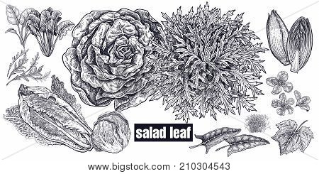 Lettuce and leaves set. Plants isolated. Vegetarian food for design menu recipes decoration kitchen items. White and black. Vector illustration art. Hand drawing of vegetables. Vintage engraving.