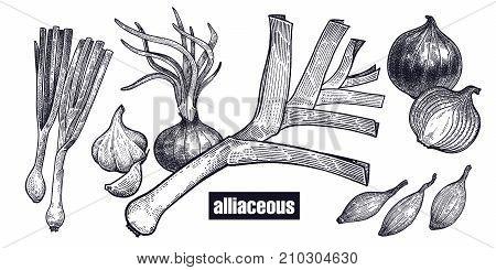 Onion shallot leek set. Plants isolated. Vegetarian food for design menu recipes decoration kitchen items. White and black. Vector illustration art. Hand drawing of vegetables. Vintage engraving.
