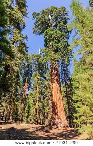 Wide angle shot of a giant Sequoia taken during a summer afternoon in Sequoia National Park. These are among the largest in the world in terms of volume