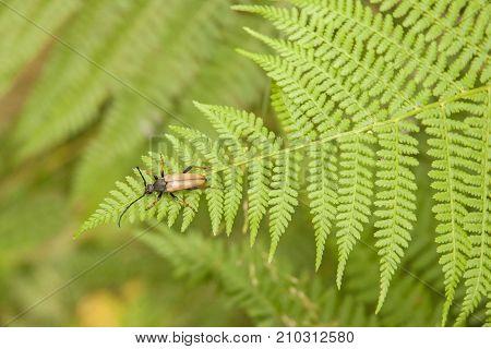 It is image of Red-brown Longhorn Beetle