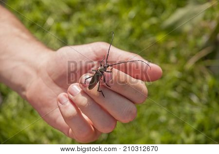 It is image of musk beetle on a palm