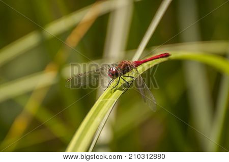 It is image of Vagrant darter on grass
