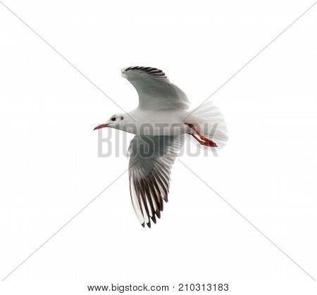White seagull flying isolated on white background.