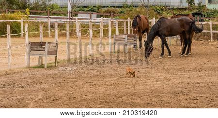 Three horses wearing bridles and a small Chihuahua wearing a collar together in enclosure surrounded by fence with peeling white paint