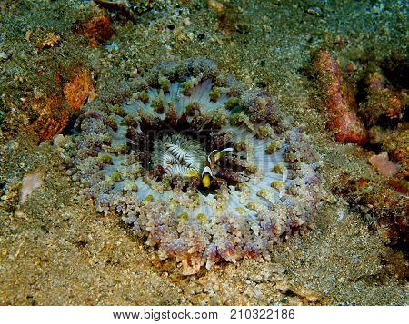 The amazing and mysterious underwater world of the Philippines, Luzon Island, Anilаo, sea anemone