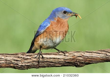 Male Eastern Bluebird (Sialia sialis) on a branch with a worm poster