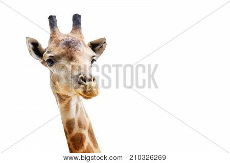 Close up shot of giraffe head isolate on white background with clipping path