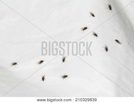 some dark flies on white plastic film