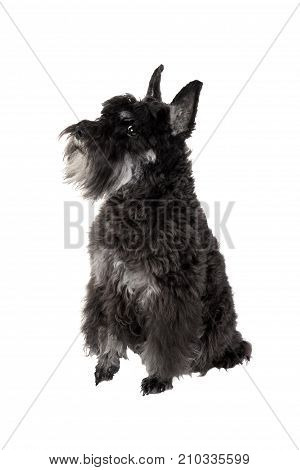 Small black dog (Miniature Schnauzer) isolated on white background. Smart pet looking at camera.