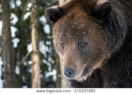 Old Brown Bear Staring Somewhere
