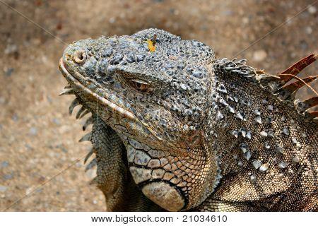 Portrait of a Male Green Iguana