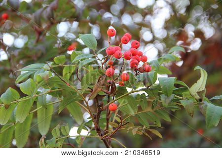 Red berries of mountain ash with green leaves / Landscape with rowanberry