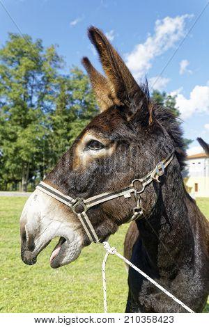 beautiful brown donkey braying on the pasture