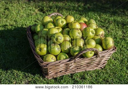 Windfall apples collected together in a wicker basket before being cleaned. Autumn (fall) harvest. Strong natural autumnal light on a crisp autumn day.