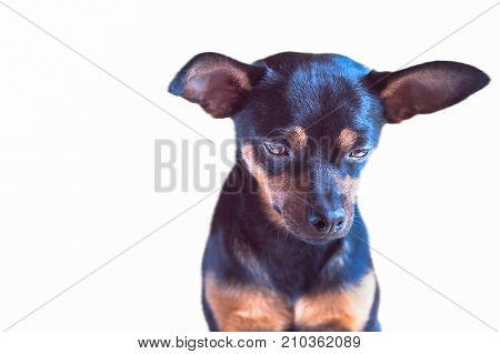 Dog, puppy guilty, sad, punished isolated. Studio portrait. Russian Toy Terrier