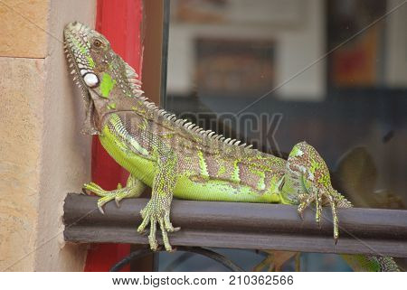 Lovely iguana, in the city center. Amazing and colorfull animal, always respect the nature.