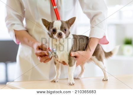 Veterinarian doctor using stethoscope during examination in veterinary clinic. Dog terrier in vet clinic