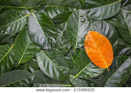 Pile Of Tree Leave. Different Yellow Leave On Dark Green Leaves Of The Jackfruit Tree For Texture An