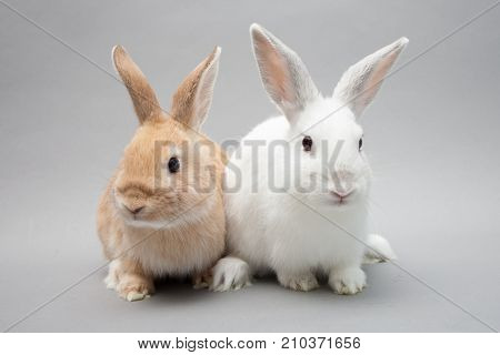Two Adorable Little Baby Bunnies In A Solid Background Gazing In The Camera