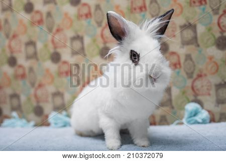 Cute white baby bunny rabbit lionhead with smokey eyes