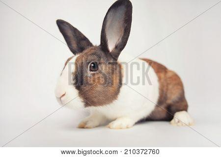 Cute curious little bunny on a seamless backdrop